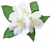 Blooming jasmine flower with leaves. — Stock Photo