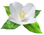 Blooming jasmine flower with leaves. File contains clipping path — Stock Photo