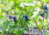 Blueberries on a shrub. — Stock fotografie