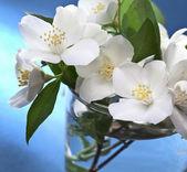 Jasmine flowers over blue background. — Stock Photo