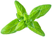 Green fresh marjoram leaves on a white. — Stock Photo