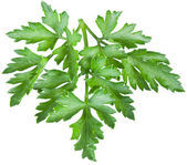 Green parsley isolated on a white. — 图库照片