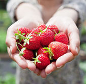 Strawberry fruits in a woman's hands. — Foto de Stock