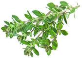 Green fresh thyme on white. — Stock Photo