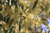 Blossoming olive tree — Stock Photo