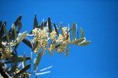 Ağaç zeytin çiçek — Stok fotoğraf