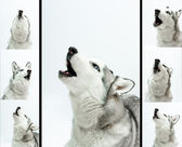 Siberian husky sings — Stock Photo