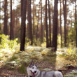 Siberihusky rest — Stock Photo #29700951