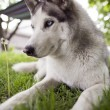 Siberian husky rest — Stock Photo