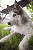 Siberian husky rest — Stock Photo