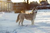 Siberian husky in snow — Stock Photo