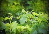 Wine plants — Stock Photo
