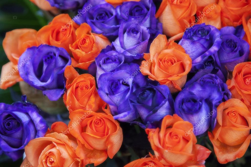 Blue and orange roses — Stock Photo © araraadt #14484429