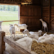 Goats in barn — Stock Photo