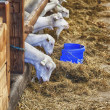 Goats in barn — Stock Photo #27377127