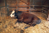 Cattle in barn — Stock Photo