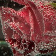 Stock Photo: Beautiful flower in water, macro