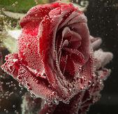 Beautiful flower in water, macro — Stock Photo