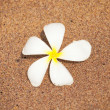 Plumeria flower on the sand — стоковое фото #17887017