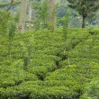 Stock Photo: Ceylon teplantation