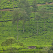 Ceylon tea plantation — Stock Photo