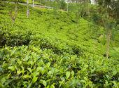 Ceylon tea plantation — Stock Photo