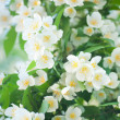 Flower jasmine — Stock Photo #27377965
