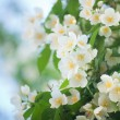 Stock Photo: Flower jasmine
