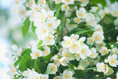 Flower jasmine — Stock Photo