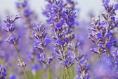 Lavender flowers on a summer day — Stock Photo