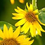 A Bee In a Beautiful Organic Sunflower — Stock Photo