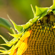 Royalty-Free Stock Photo: A Wilted Beautiful Organic Sunflower