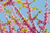 Judas Tree Flower And Leaves — Stock Photo