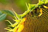 Un girasole biologico bello avvizzito — Foto Stock