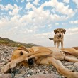Playful Dogs On The Beach — 图库照片