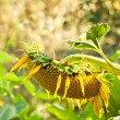 A Wilted Beautiful Organic Sunflower — Stock Photo