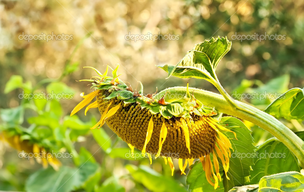 A Wilted Beautiful Organic Sunflower  Stock Photo #14013704