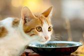 Hungry Kitten — Stock Photo