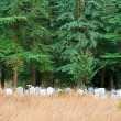 Lonely Graveyard Under Pine Trees — Stock Photo