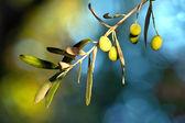 Jonge olijfolie op een tak — Stockfoto