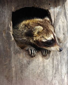Raccoon in a tree hollow — Stock Photo