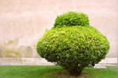 Alone trimmed bush on an old stone wall background — Stock Photo