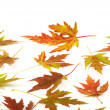 Autumn maple leaves on white - Stock Photo