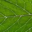 Green leaf as background - Stock Photo