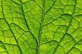 Folha verde como pano de fundo — Foto Stock