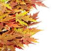 Autumn maple leaves — Stock Photo