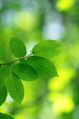 Green leaves — Foto Stock