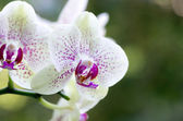 Orchidea — Foto Stock