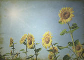 Sunflowers — Photo