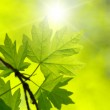 Green leaves  — Stock Photo #30861191